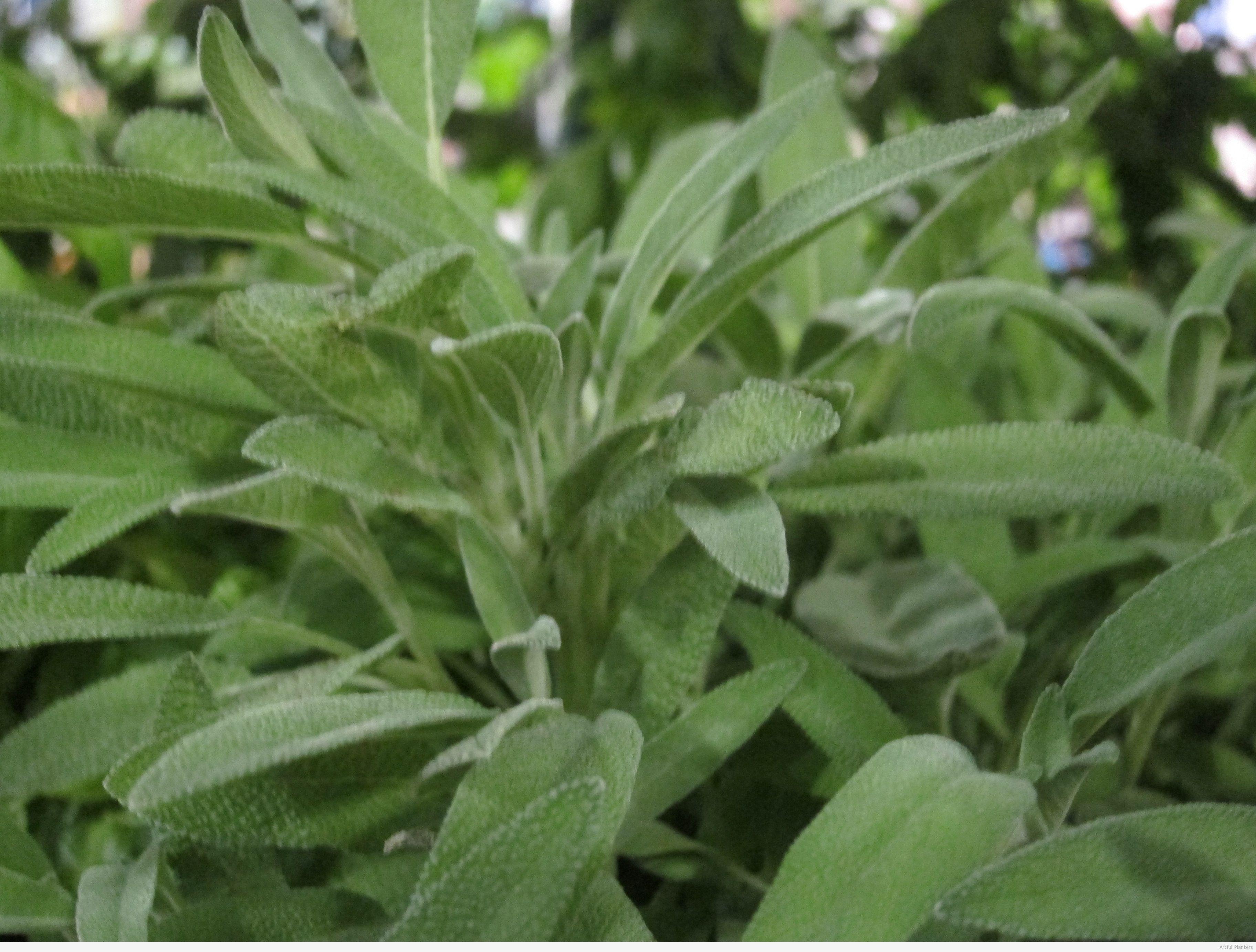 Sage Green Growin Crazy Acres