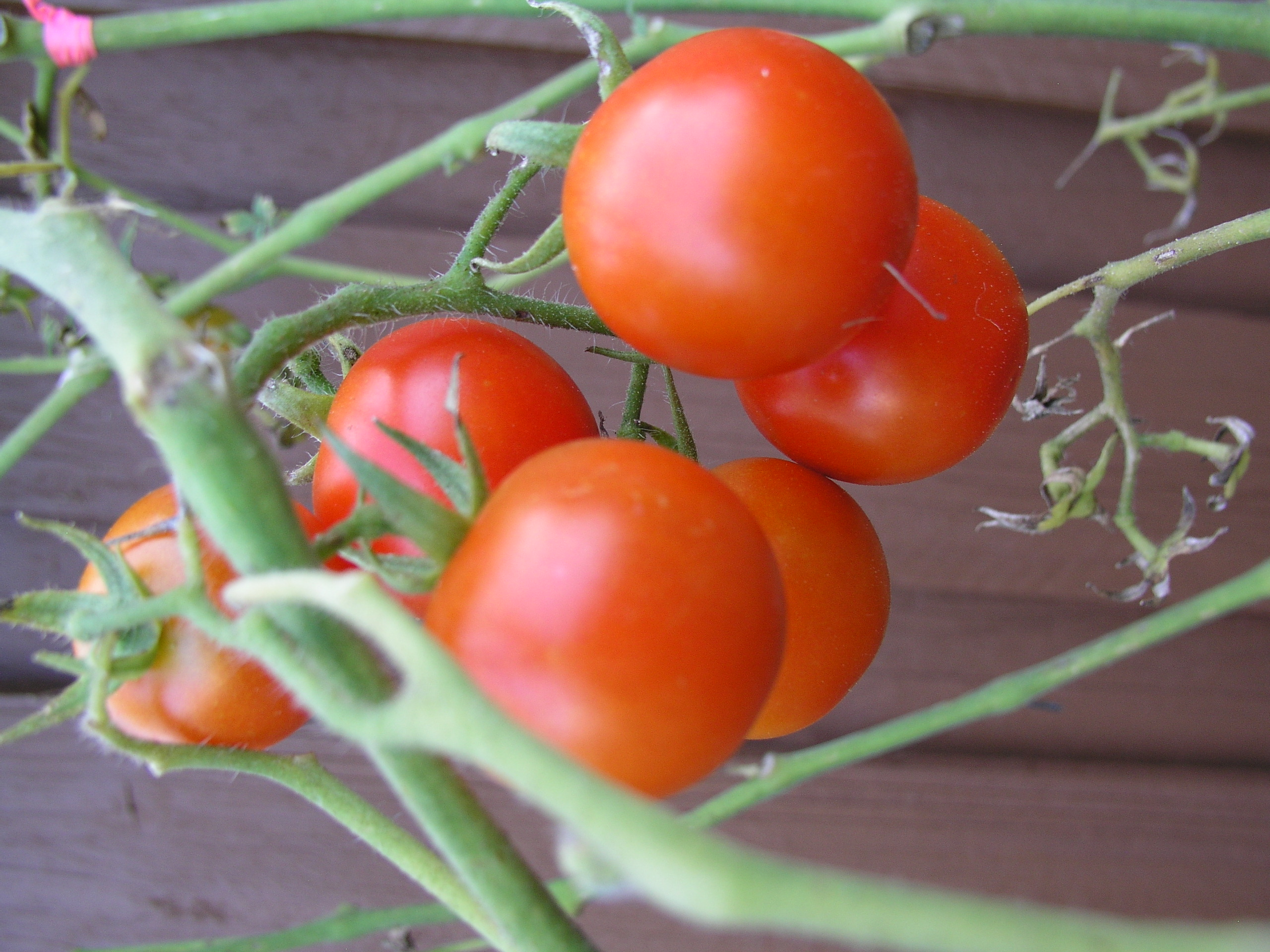 Chadwick cherry tomato growin crazy acres for How to grow cherry tomatoes from seeds
