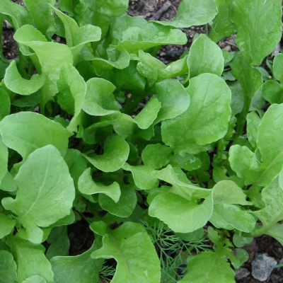 Arugula/Spinach