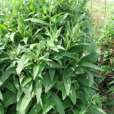 comfrey singles Growing comfrey in texas/similar climates the prices seem quite reasonable considering i just bought a single plant i bought the true comfrey seeds from.