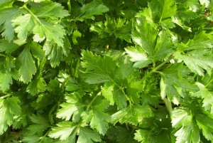 Giant-of-Italy-Parsley-1080