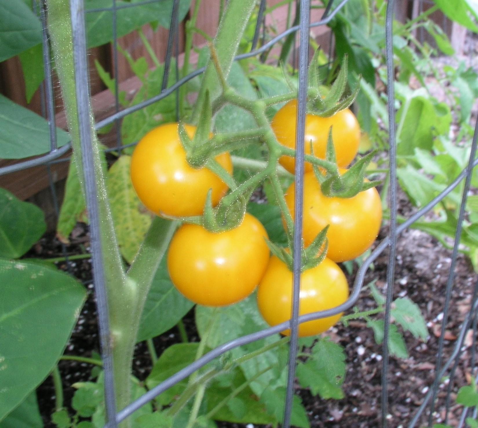 home shop seeds tomato seeds egg yolk tomato