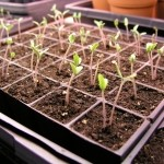 Seed Sprouts