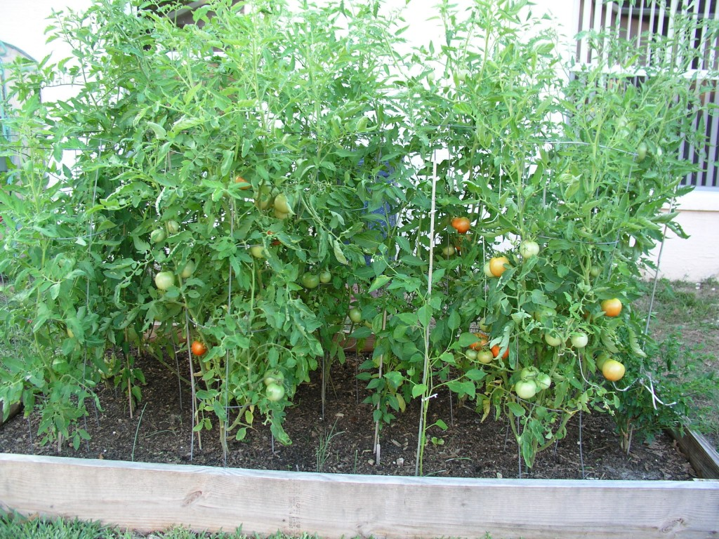 Tomatoes In Raised Bed Growin Crazy Acres