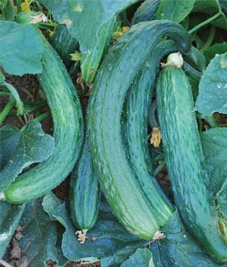 Suyo Long Cucumber Highly productive!