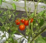 everglade tomatoes