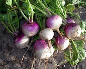 Purple Top White Globe Turnip7